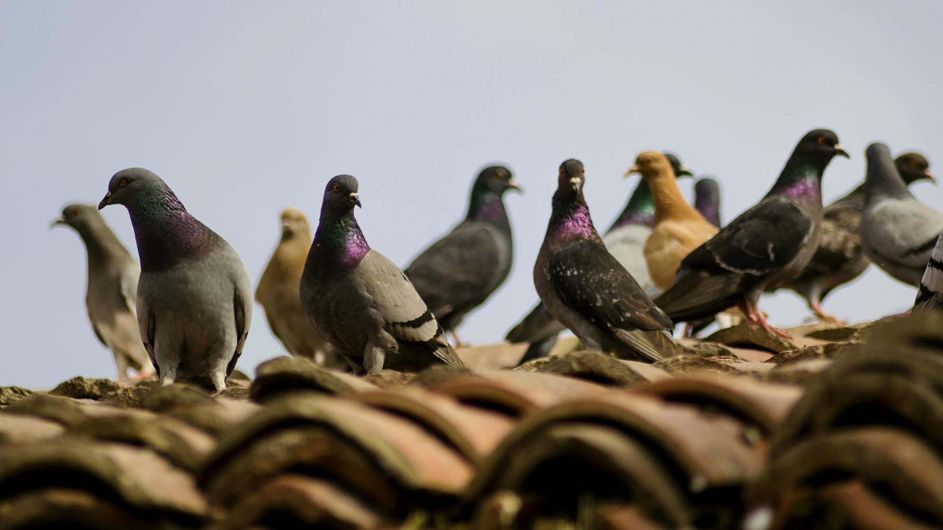 elimination-pigeons-carcassonne-trebes-capendu